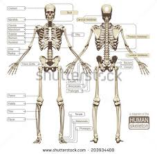 Picture Diagram Of The Human Body Human Skeleton Stock Images Royalty Free Images U0026 Vectors