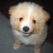 american eskimo dog giving birth nwsltrvol003