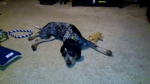 bluetick coonhound fun facts colten the 4 month old bluetick coonhound youtube