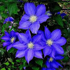 Discount Flowers Discount Flowers Seeds Clematis 2017 Flowers Seeds Clematis On