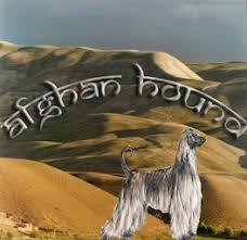 afghan hound agility american sighthound field association album afghan hound