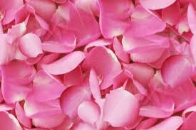 fresh petals fresh pink petals petals and powder shreeveer