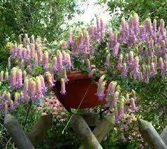 roberta s 6 drought tolerant hardy ornamental oregano qvc