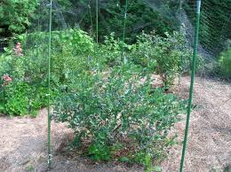 exterior how to grow blueberries growing between bushes so the