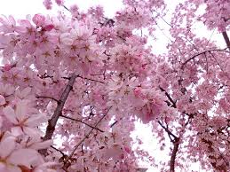 cherry blossom flowers flowers cherry blossom flower