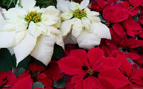 white poinsettia mlewallpapers white and poinsettias ii
