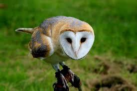 What Does A Barn Owl Look Like Where Do The Silver Owls Live Wonderopolis