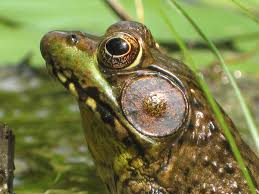 amphibians through the ages why frogs matter radical science news
