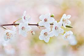 white cherry blossom white cherry blossom photograph by jacky photography