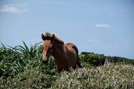 travel pony images The yonaguni pony one of the eight pony breeds native to japan jpg