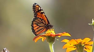tulsa students work to save the monarch butterfly newson6 com