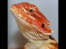 blood red tiger bearded dragon baby