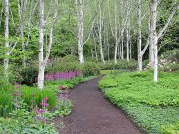 garden with walkway and birch trees enchanting birch