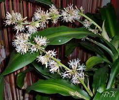 Yucca Wohnzimmer Meine Yucca Palme Blüht Oder Dracaena Fragrans Samen U0026 Anzucht