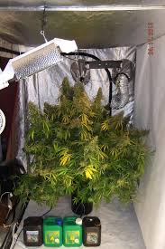 250 watt hps grow light dutch passion automazar grow review dutch passion