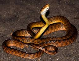 brown tree invasive species brown tree snake lessons tes teach