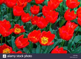 flower gardens triumph tulip vesna keukenhof flower gardens lisse netherlands