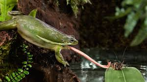 video frog tongues stick like scotch tape science aaas