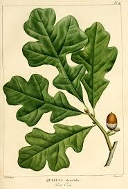 quercus stellata wikipedia