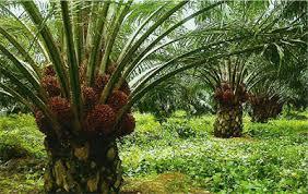 Minyak Kelapa Sawit Terkini politeknik kelapa sawit citra widya edukasi