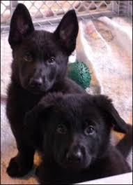 belgian sheepdog puppies for sale uk best 25 belgian shepherd ideas only on pinterest belgian dog