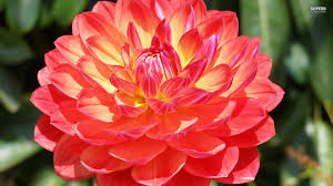 dahlias flowers dahlia flower with fbababbfff on home design ideas with hd