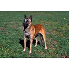 belgian shepherd dog temperament belgian malinois dog breeds dog com