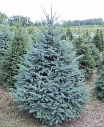blue spruce trees blue spruce cut mattern s pine ridge nursery tree farm