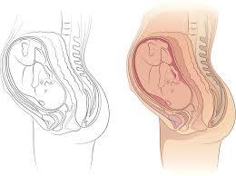 Pregnant Female Anatomy Diagram Organs Getting Squashed During Pregnancy Mom365