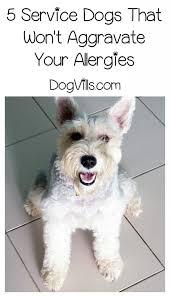 belgian shepherd hypoallergenic the best hypoallergenic dog breeds for service service dogs