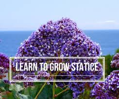 statice flowers how to grow statice gardening channel