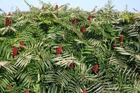 massachusetts native plants two exuberant native shrubs in the august garden u2013 gardening in