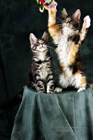 telecharger papier peint bureau gratuit maine coon chats de papier peint maine coon télécharger des