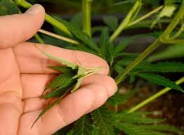 Recovering Cannabis Plants From High by Pruning Marijuana Plants When And How To Prune