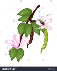 images of bauhinia purpurea flower stock sc