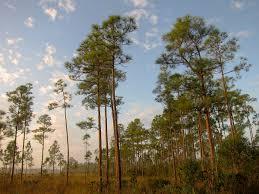native south florida plants south florida rocklands wikipedia