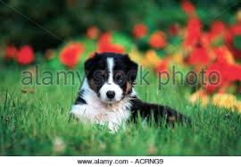 australian shepherd or border collie puppy whelp australian shepherd x border collie mix funny sweet