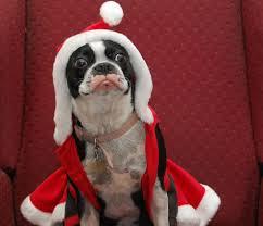 santa paws dogs at christmas 48 pics