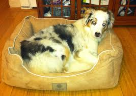 australian shepherd kennel club american kennel club dog bed cookie of katonah
