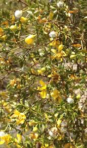 black bean aboriginal use of native plants nopalitos savor the southwest