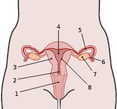 Anatomy And Physiology Muscle Labeling Exercises Free Anatomy Quiz The Anatomy Of The Female Reproductive System