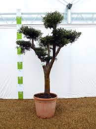 Pom Pom Trees Large Cloud Olive Tree Olive Grove Oundle