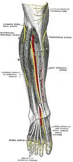 rückenmark und peripheres nervensystem teil 2 - Fußheberschwäche Nerv