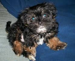 24 pictures shih tzu yorkie mix shorkie breed