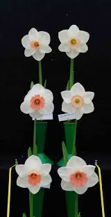 Challenge Vase Daffodil Society Show 2015 Coughton Court The Daffodil Society