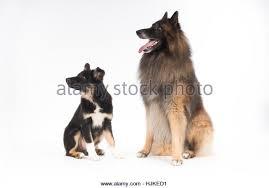 belgian sheepdog border collie mix dog border collie puppy stock photos u0026 dog border collie