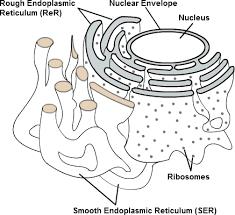 organelles cell organelles important biology tutorvista com