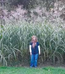 ornamental grasses for privacy images landscape