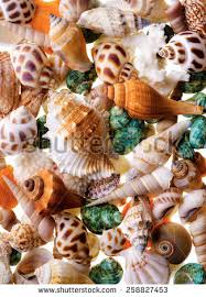 assorted seashells seashell collection stock images royalty free images vectors