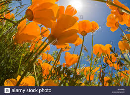 california poppies stock photos u0026 california poppies stock images